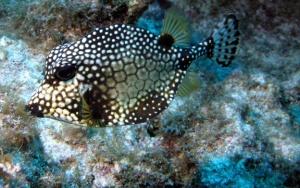 smooth-trunkfish2